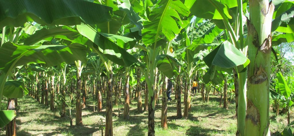 https://www.businessplansamples.com.ng/plantain-farming-business-plan-in-nigeria/